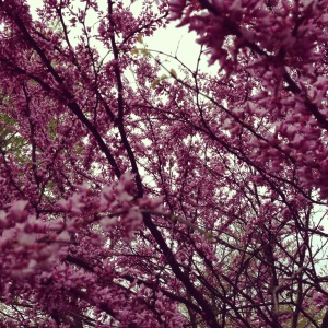 Day One Hundred & Thirty-Five: I love the colorful blossoms of Spring! #blossom#spring#color#enjoy